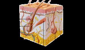 rappresentazione schematica del derma - pelle